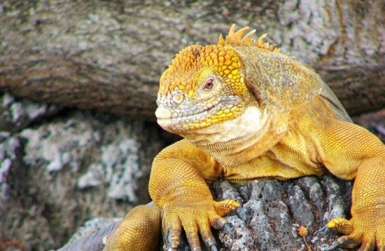 Yellow iguana on Galapagos lava rock