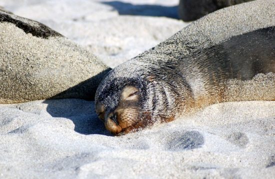 sea lion basking in the sun on a Galapagos beach