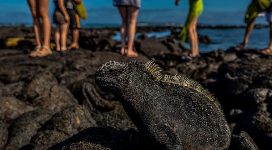 Stumble-upon-marine-iguanas-870x580
