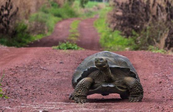Lone tortoise on Galapagos Wildlife tour